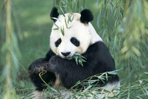 Pandy vedia využiť všetky živiny z bambusu.