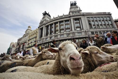 ovce-v-madride_tasrap.jpg