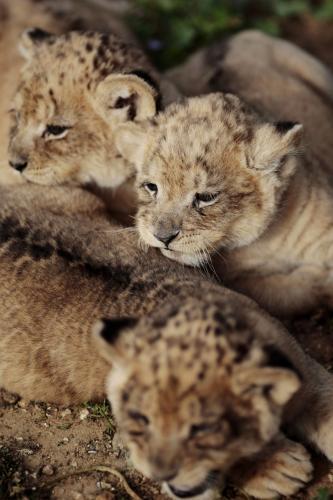 levicata-safari_3_ap.jpg