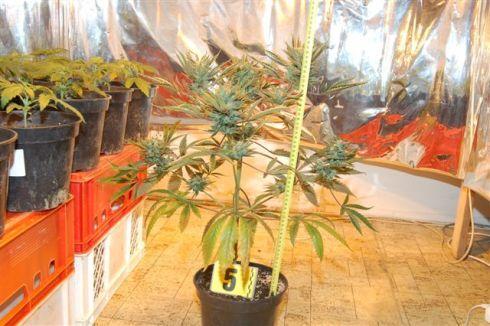 marihuana2_490.jpg