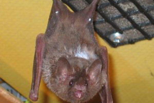 Blízky záber jedného z pokusných netopierov tesne po pristátí na pripravenej mriežke.