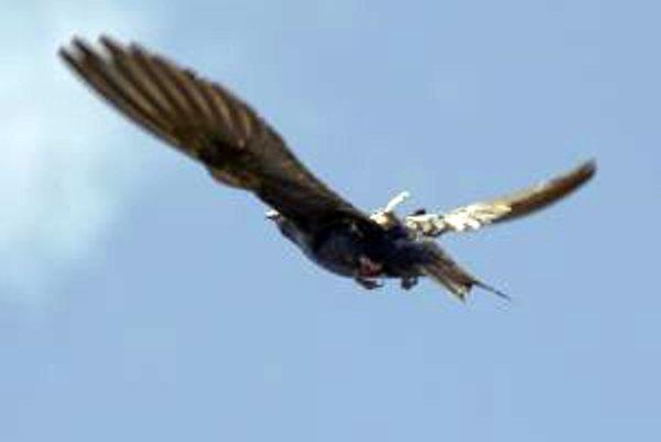 Belorítka druhu Progne subis pri lete s geolokátorom na chrbte.