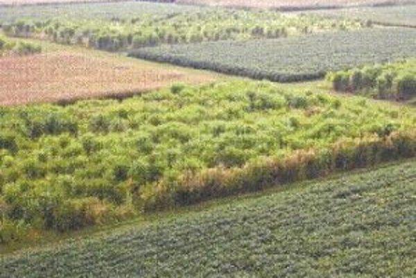 Kukurica, proso prútnaté a ozdobnica čínska - kultivar giganteus - bok po boku v druhom roku pokusného veľkoplošného pestovania na poliach štátu Illinois.