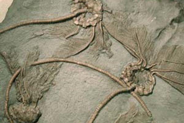 Ľaliovky (morské ľalie) patria medzi najstarobylejšie skupiny ostnatokožcov, ktoré žijú doteraz. Obývajú moria do hĺbky sto metrov. Majú päť ramien, ktoré dokážu regenerovať. Tieto ľaliovky, staré 460 miliónov rokov, postihlo hromadné vymieranie. Pochádza
