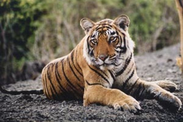 Tiger pásavý bengálsky.