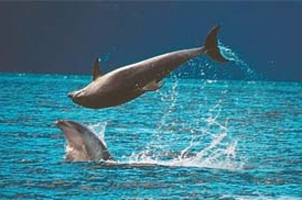 Spriatelené delfínie samce pri hre v Doubtful Sound na Novom Zélande. KREDIT