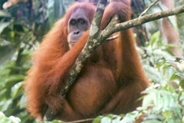 Dospelá samica orangutana sumatránskeho