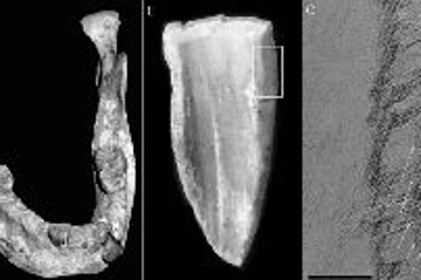 Trojzáber ukazuje miesto na čeľusti a skúmanú časť zuba. Vpravo vidno mikroskopické rastové línie. Foto - PNAS