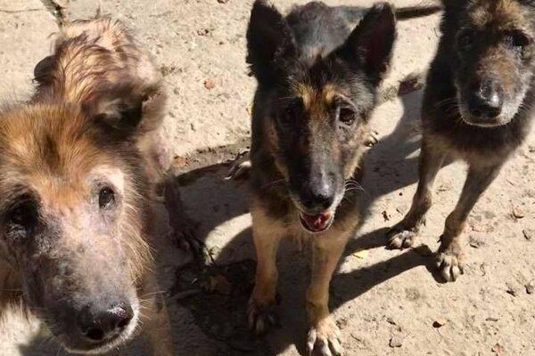 Trojica psíkov žila v otrasných podmienkach, všetci sú v zúboženom stave.