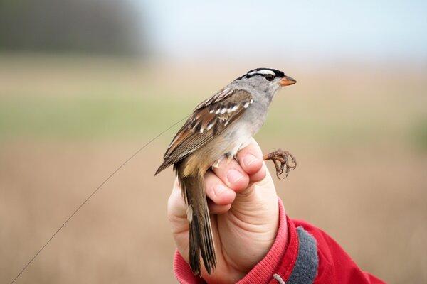 Vrabec druhu Zonotrichia leucophrys s rádiovým vysielačom. Od chrbta mu siaha dlhá anténa. Vďaka vysielaču vedci vedeli, ako sa vták pohybuje.