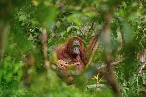 Czech Press Photo vyhral minulý rok záber Lukáša Zemana Orangutania matka s umierajúcim potomkom.
