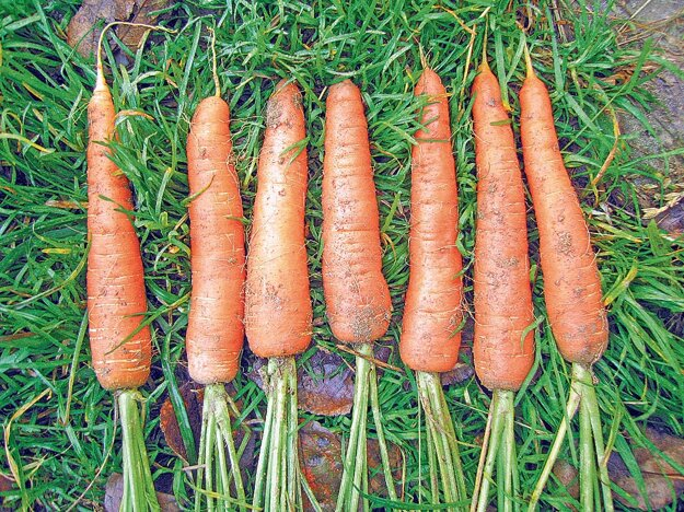 Korene na semeno majú byť rovné, pekne vyvinuté, bez rozvetvenia.