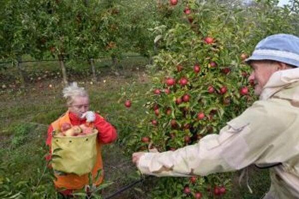 Zber jabĺk v Čachticiach.