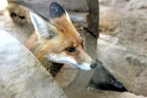Líška hrdzavá.