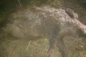 Prípadov uhynutých diviakov pri Levoči je viacero. Za dva mesiace ich evidujú 13.