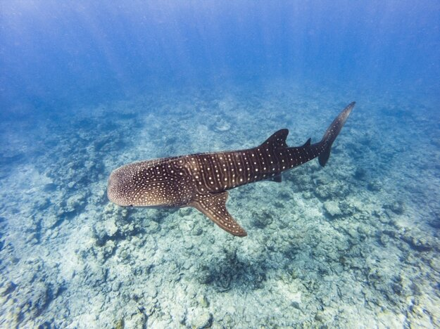 Zaplávajte si so žralokmi
