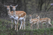 Antilopy v košickej zoo.