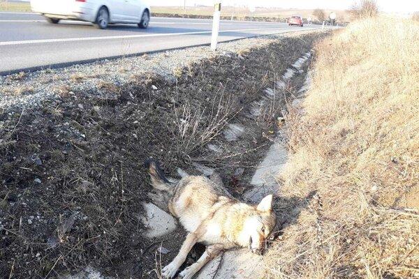 Zrazená vlčica pri bývalej panelovej ceste neďaleko Mošoviec.