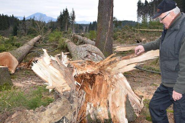 Jozef Kmeť ukazuje ako boli vyvalené stromy zvnútra prehnité.