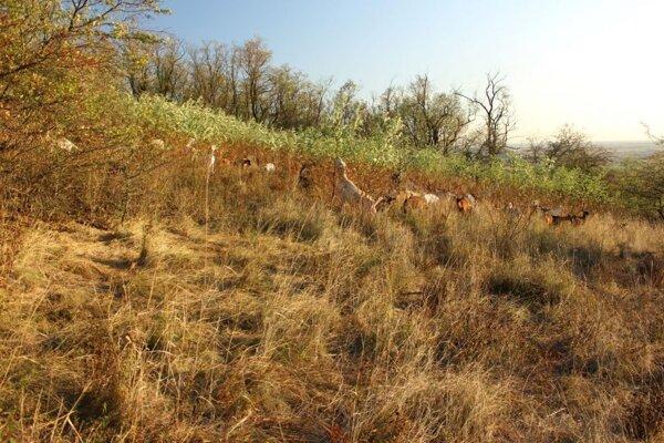 Kozy dokážu výrazne pomôcť pri čistení územia od rastlín, ktoré tam byť nemajú.