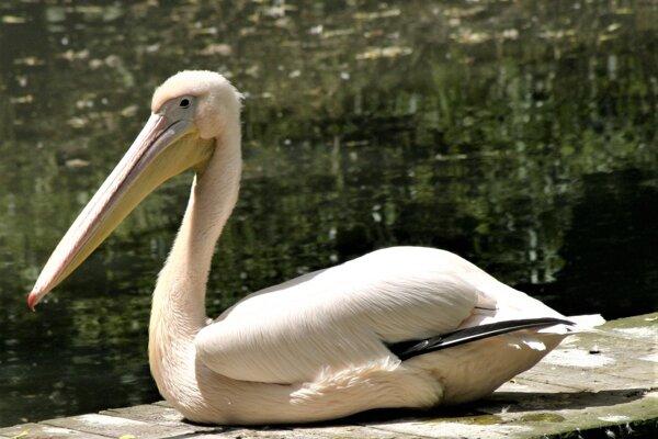Pelikán ružový v zoo Bojnice.