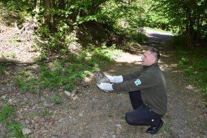 Vedúci rehabilitačnej stanice Štefan Čenger vypúšťa do prírody sovu lesnú.