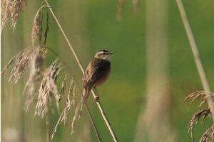 Trsteniarik malý je jedným zo vzácnych vtákov, ktoré žijú na mieste, kde má byť viacúčelová vodná nádrž.