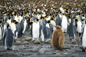 Mláďa tučniaka kráľovského medzi dospelými.