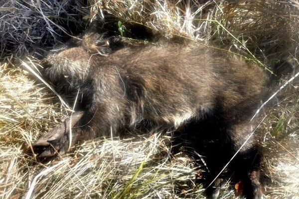 Uhynutý diviak. Tohto našli v marci neďaleko slovensko-maďarských hraníc. Teraz sa našlo telo africkým morom nakazeného mláďaťa priamo v Košiciach.