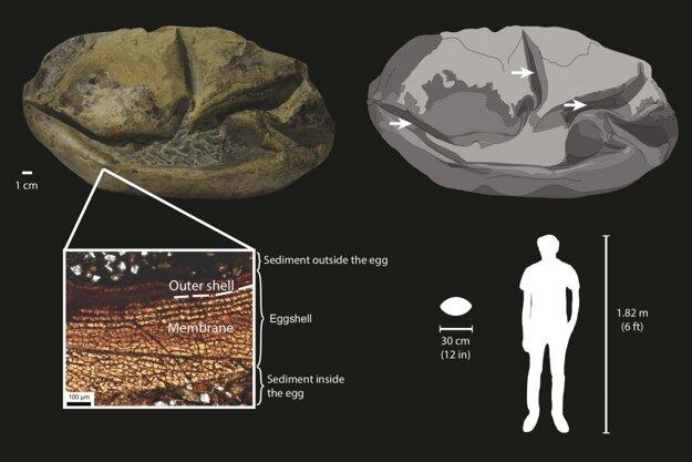 Obrázok ukazuje vajíčko, v detaile jeho časti a veľkosť vzhľadom k človeku.
