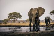 Ilustračná fotografia. V Botswane našli viac ako 350 mŕtvych slonov, ktoré zahynuli z neznámych príčin.
