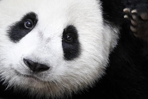 Panda sa stala symbolom snáh o záchranu živočíšnych druhov. Nová štúdia však hovorí, že vytvorenie rezervácií malo aj odvrátenú stránku, pretože niektoré mäsožravé druhy z mnohých vymizli.