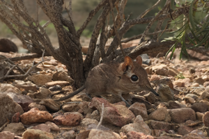 Prvá fotka živého tenkonožca somálskeho v prírode.
