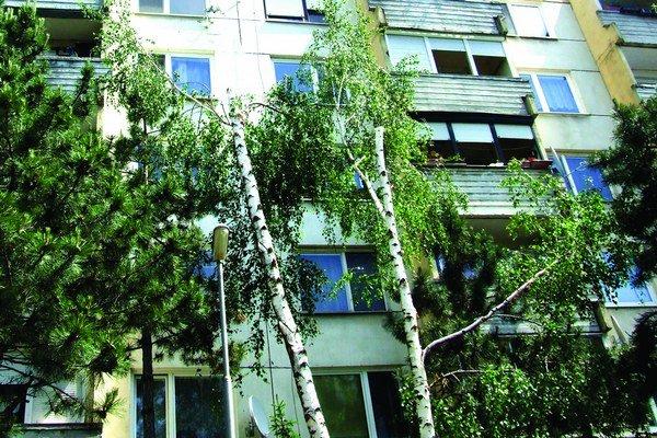 Takto vyzerala vlani načierno orezaná dvojkmenná breza na Novomeského ulici.