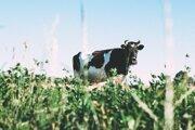 Nepasterizované mlieko môže byť nositeľom patogénnych mikroorganizmov.