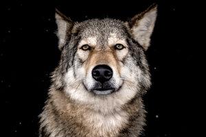 Vodca vlčej svorky nemusí byť najsilnejší, no musí byť najrozumnejší.