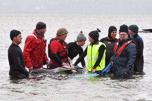 Záchrana veľrýb blízko austrálskeho Strahanu 22. septembra 2020. Približne tretina z odhadovaných 270 uviaznutých grínd už zomrela. Záchranárom sa zatiaľ podarilo vrátiť do mora 25 jedincov.