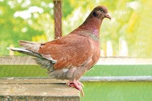 Medzi najťažšie holubie plemená patria francúzske Mondény.