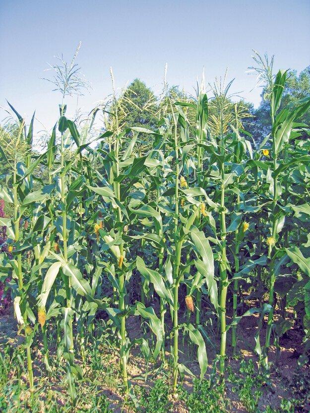 Sedliacka, odroda kukurice s mohutnými šúľkami, sa na južnom Slovensku pestovala pred érou združstevňovania. Zrná sme dostali od čitateľa Doma v záhrade pána Šišku z Dubovian.
