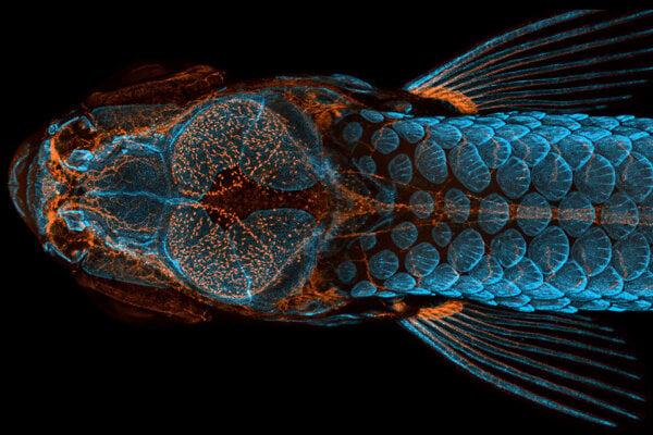 Zebrička a jej fluorescenčne vyznačená kostra.