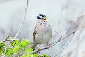 Strnádlik jazvečí zo západného pobrežia USA mal vždy košatý spev, teraz sa ornitológom zdá, že je ešte bohatší.