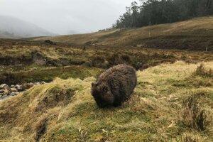 V národnom parku Cradle Mountain na Tasmánii s veľkou pravdepodobnosťou natrafíte na wombaty.
