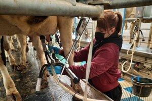 Dojenie kráv v PROD Bobrov.