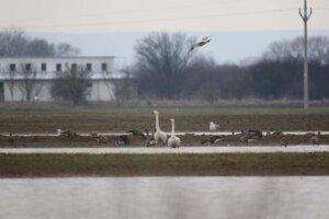 Návšteva zo severu v podobe labute malej bola pozorovaná na poli blízko Michaloviec.