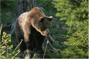 Medveď hnedý sa v prírode dožije 25 rokov, v zajatí aj viac.