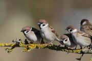 Vrabce poľné