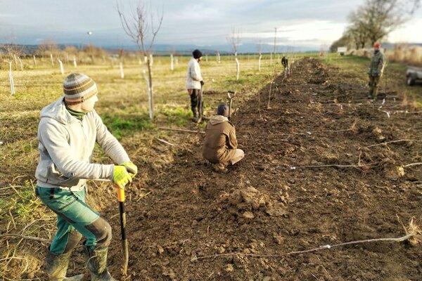 Zlodej ukradol zo sadu 140 vzácnych stromčekov.