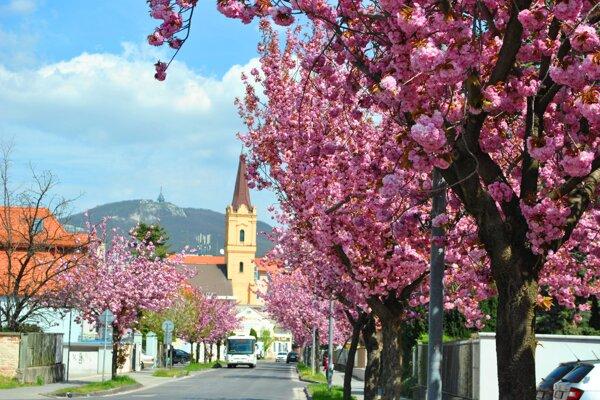 Krásu zakvitnutých japonských čerešní každoročne obdivujú mnohí okoloidúci.
