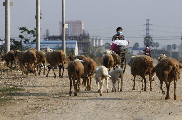 Žena na bicykli s ochranným rúškom ide okolo stáda oviec na okraji kambodžského hlavného mesta Phnom Pénh 6. apríla 2021.