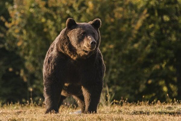 Medveď hnedý, menom Arthur, na území župy Covasna v strednom Rumunsku.
